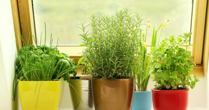 Plante aromatice la ghiveci. Cum le ajutăm să supraviețuiască mai mult? - 1