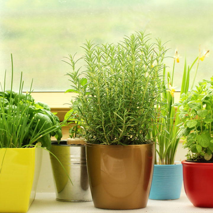 Plante aromatice la ghiveci. Cum le ajutăm să supraviețuiască mai mult? - 8