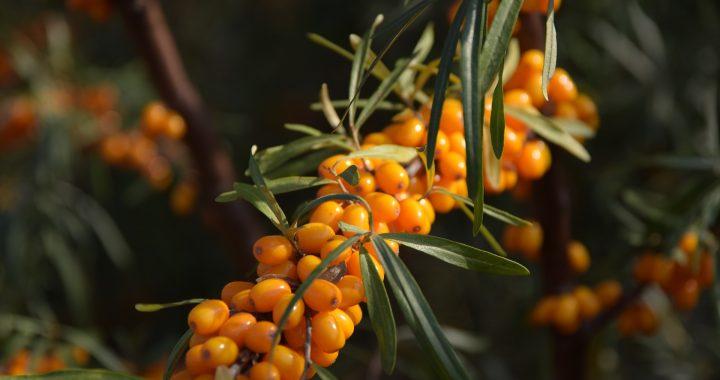 fructe de cătină