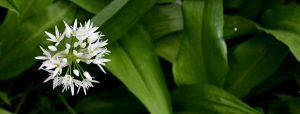 Floare de leurdă
