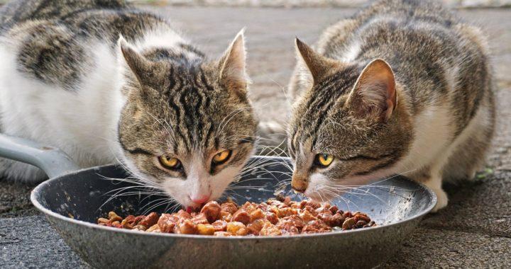 Alimente toxice și periculoase pentru pisici