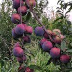 Și merele de aur... Livada bio, business și pasiune - 2
