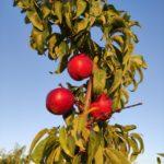 Și merele de aur... Livada bio, business și pasiune - 4
