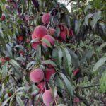 Și merele de aur... Livada bio, business și pasiune - 7