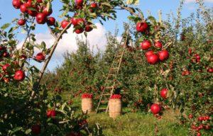 hai-sa-afli-cat-de-mult-iti-plac-de-fapt-merele