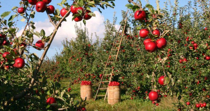 QUIZ: Hai să afli cât de mult îți plac, de fapt, merele!
