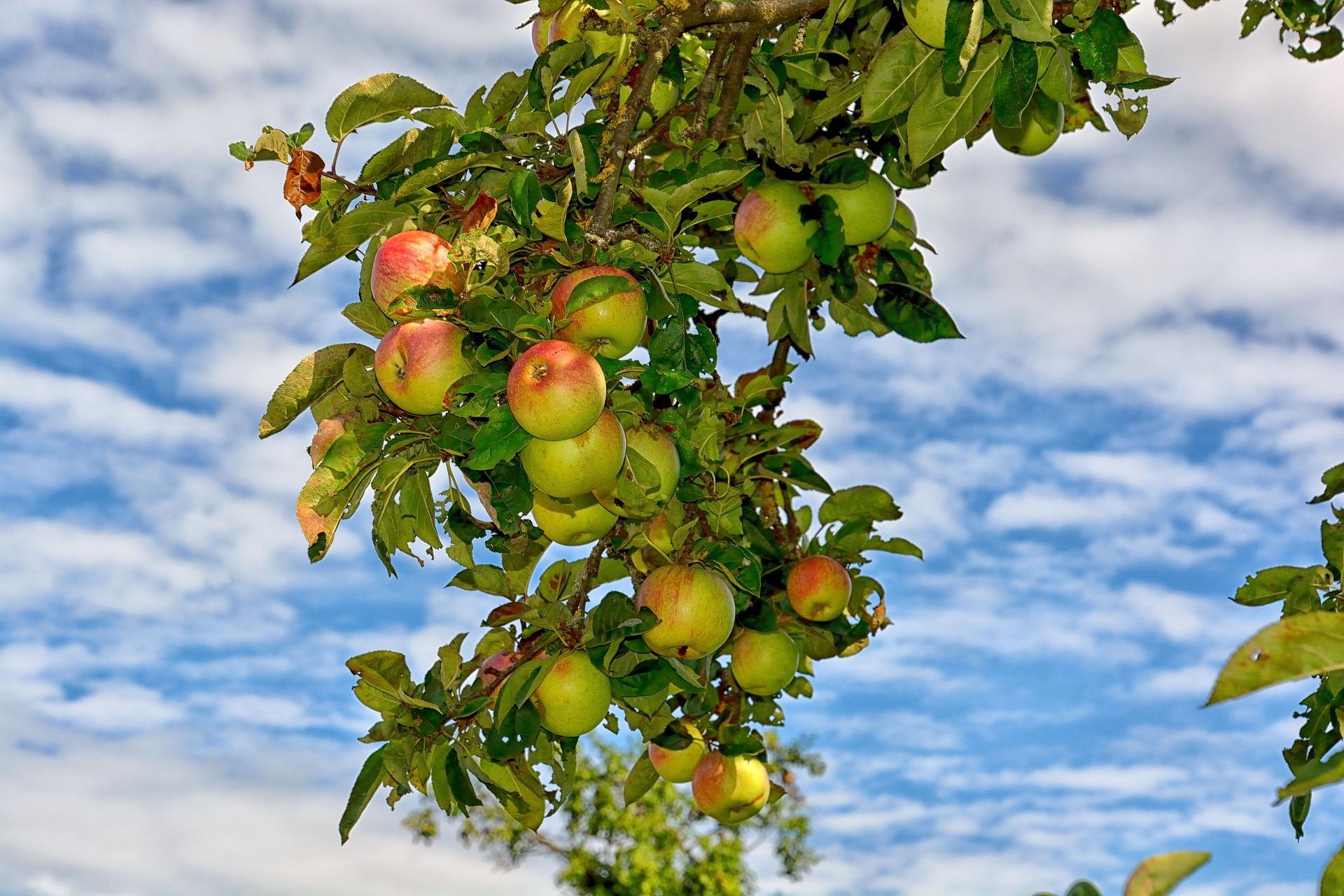 QUIZ: Hai să afli cât de mult îți plac, de fapt, merele! - 2