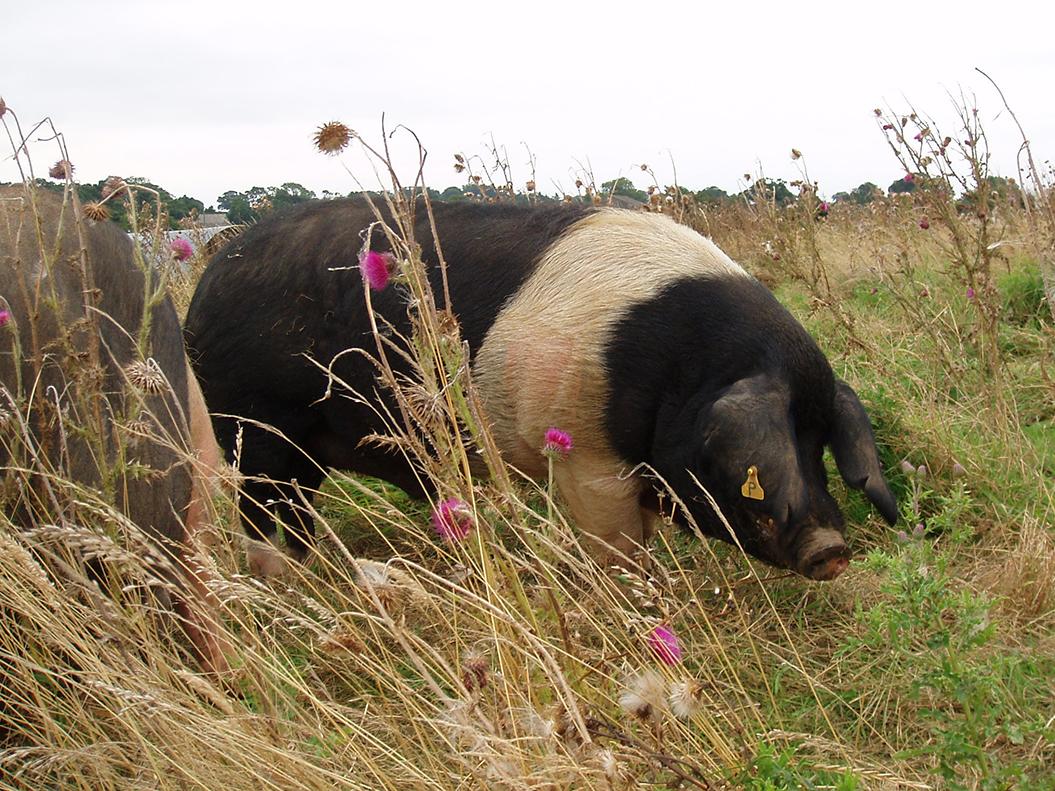 Essex hog